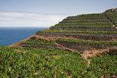 Banana plantations at the coast of La Palma, Canary Islands — 图库照片
