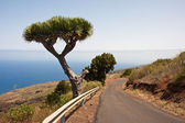 Dragon tree at the coast of La Palma, Canary Islands — Stock Photo