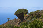 Dragon tree at coast of La Palma — Stock fotografie