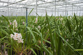 Orchid plant nursery in the Netherlands — Stock Photo