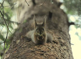 Squirrel with the nut on the tree — Stockfoto