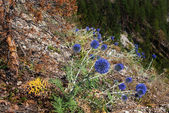July flowers on the side of the rock — Stock Photo
