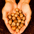 Mans hands full of walnuts — Stock Photo