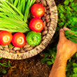 Stock Photo: Home garden harvest of fresh summer vegetables