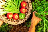 Home garden harvest of fresh summer vegetables — Stock Photo