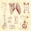 Human bones, vintage vector set - Photo