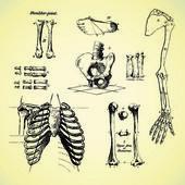 Human bones, vintage vector set — Stock Photo