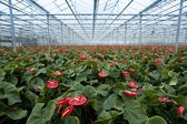Anthurium nursery — Stock Photo