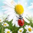 Ladybug on daisy flower design — Stock Photo