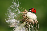 Ladybird (coccinellidae) — Stock Photo