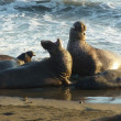 Stock Photo: Elephant Seals