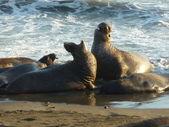Elephant Seals — Stock Photo