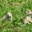 Stock Photo: Prairie Dogs