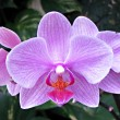 Stock Photo: Closeup of purple orchid