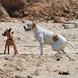 Two Dogs Playing on a Beach — Stock Photo #7660421