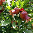 A pomegranate plant with ripe red fruits — Stock Photo
