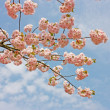 Beautiful pink sakura tree branches — Stock Photo