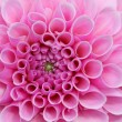 Stock Photo: Pink Dream Flower