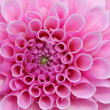Pink Dream Flower — Stock Photo #7596693
