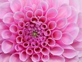 Pink Dream Flower — Stock Photo