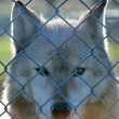 Royalty-Free Stock Photo: Caged Gray Wolf