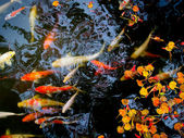 Koi in pond — Stock fotografie