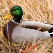 Duck by pond — Stock Photo