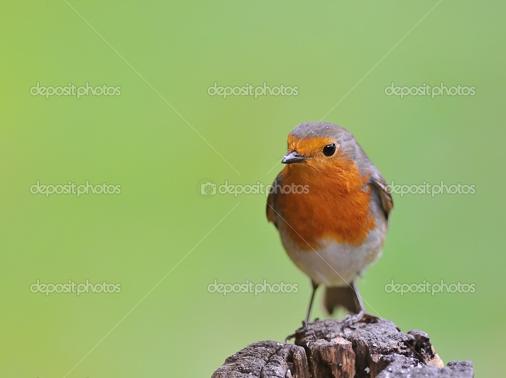 Robin, Erithacus rubecula . — Stock Photo #7485135