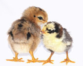 Chicks. — Stock Photo