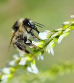 Bee on flower. — Stock Photo