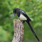 Magpie. — Stock Photo