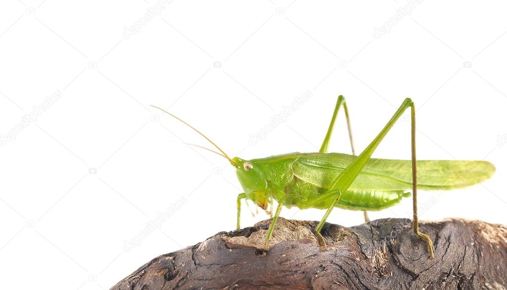 Isolated grasshopper. — Stock Photo #7918544