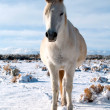 Stock Photo: Arabian horse