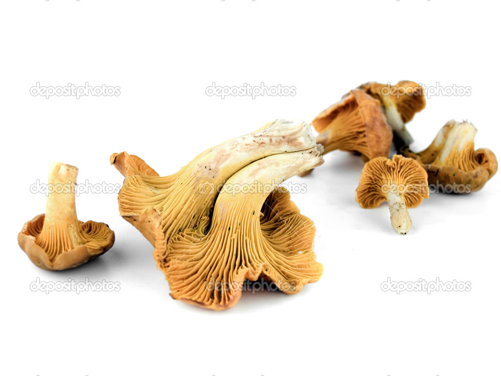 Chanterelle mushrooms isolated on white background. Cantharellaceae Basidiomycetes. — Stock Photo #7487462