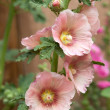 Hollyhocks - Stock Photo