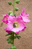Hollyhock with a bee — Stock Photo