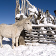 Stock Photo: Winter Donkey