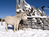 Winter Donkey — Stock Photo