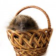Hedgehog in a wicker basket - Stock Photo
