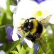Bumblebee sitting on flowers - Stock Photo