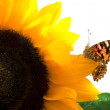 Butterfly on a sunflower — Stock Photo