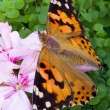 Butterfly sitting on flowers - Stock Photo