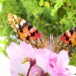 Stock Photo: Butterfly sitting on flowers