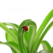 Ladybird on the green shoots — Stock Photo