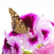 Butterfly sitting on flowers — Stock Photo