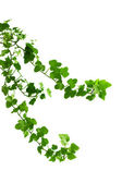 Branch is ivy on a white background — Stock Photo