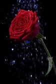 Rosa nas gotas de orvalho em preto. — Foto Stock