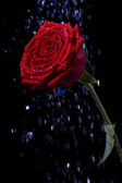 Rose i daggdroppar på svart. — Stockfoto