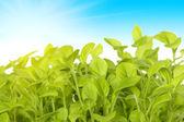 Germe de plantas verdes sobre o fundo do sk — Fotografia Stock