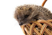Hedgehog in a wicker basket — Zdjęcie stockowe
